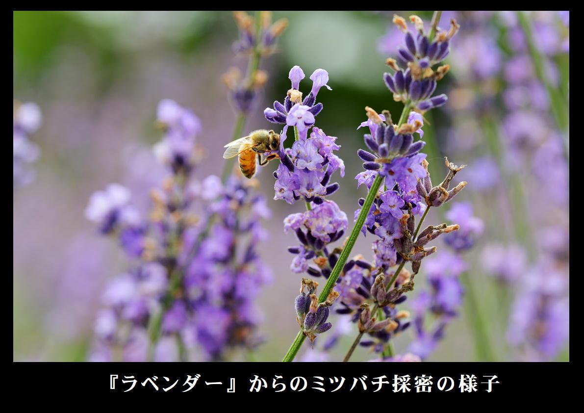 ラベンダーからミツバチが採蜜する様子